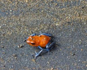 Blue-jeans frog on river bank