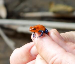 Blue-jeans frog on finger