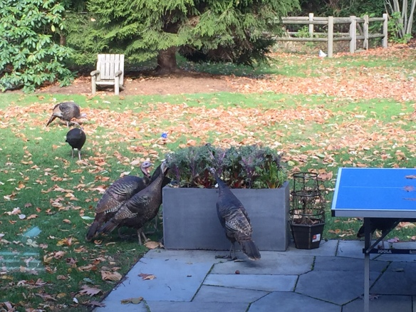 Turkeys eating kale and chard